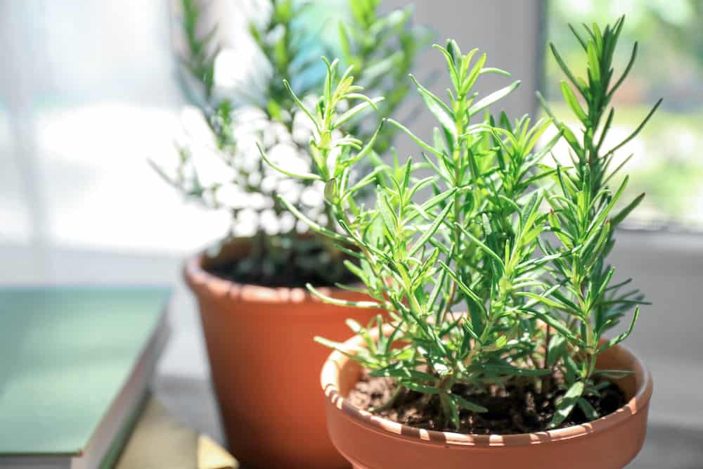 7 Tips for Growing Rosemary